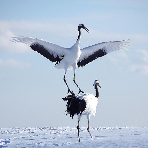 Red-cronwed Cranes (C) Hokkaido Tourism