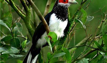 Red-faced Malkoha (c) Seerock