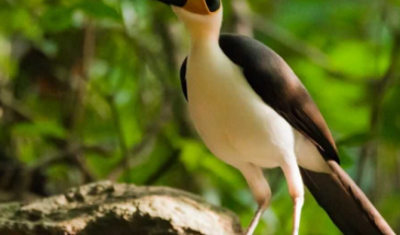 White-necked Rockfowl (c) Lucas Lombardo supplied by Ashanti African Tours